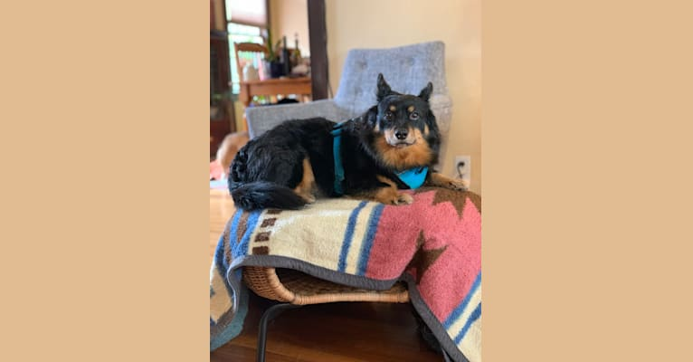Photo of Benny, a Pomeranian, Chihuahua, and Yorkshire Terrier mix in Berkeley, California, USA