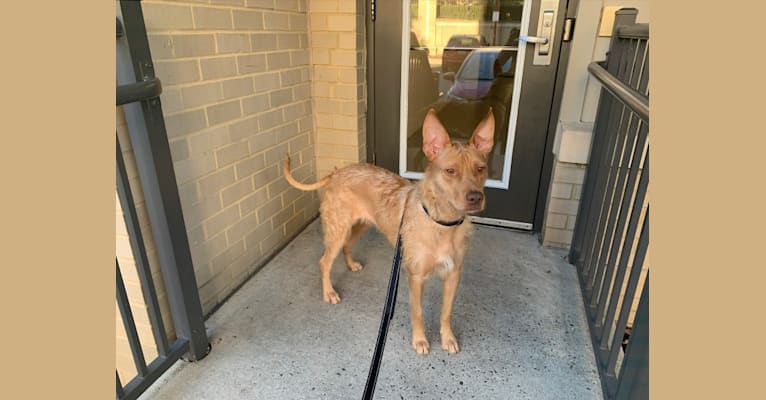 Photo of Harley, an American Pit Bull Terrier, Pharaoh Hound, and Mixed mix in Hawaii, USA