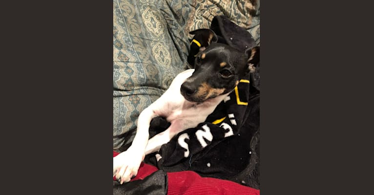 Photo of Jib, a Rat Terrier, Chihuahua, and Russell-type Terrier mix in Arkansas, USA