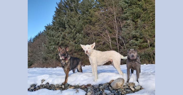 Photo of Troy, a Labrador Retriever, German Shepherd Dog, Alaskan Malamute, Akita, and Mixed mix in Kincolith, British Columbia, Canada