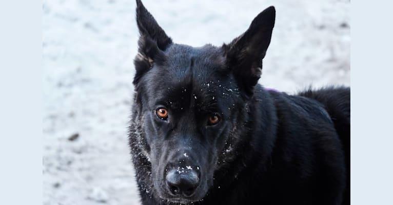 Photo of Flower's Trollius Petrusian von Rock, a German Shepherd Dog, Alaskan Malamute, and Irish Wolfhound mix in White City, OR, USA