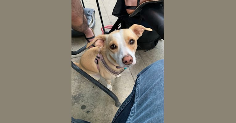 Photo of Misha, a Chihuahua, American Pit Bull Terrier, Boxer, Pomeranian, and Mixed mix in California, USA