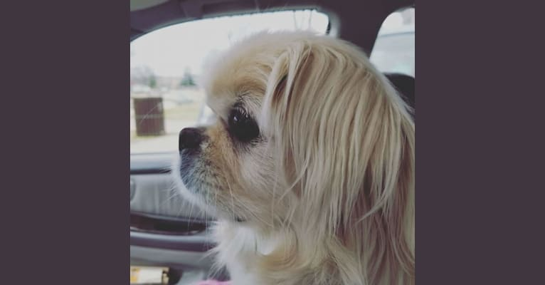 Photo of Babalou, a Pekingese  in Chattanooga, Tennessee, USA