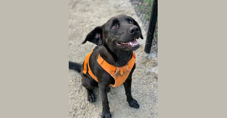 Photo of Watson, a Golden Retriever, American Pit Bull Terrier, Labrador Retriever, Siberian Husky, Chow Chow, and Mixed mix in Rockville, Maryland, USA