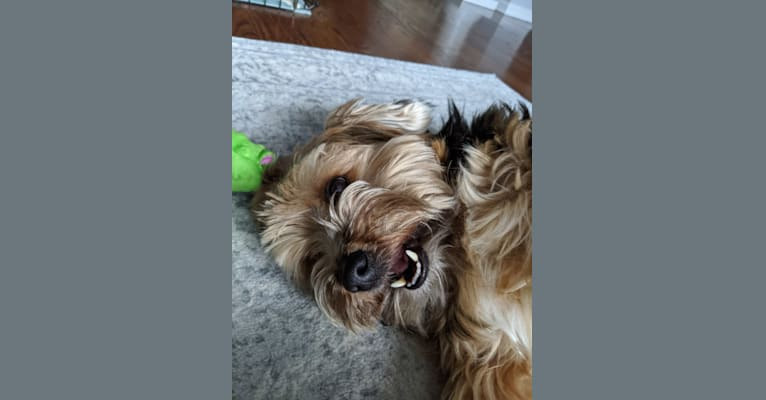 Photo of Frankiee, a Yorkshire Terrier  in Fishkill, New York, USA