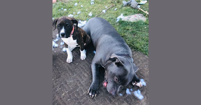 Photo of Fiona, an American Bully, American Pit Bull Terrier, Fila Brasileiro, and Cane Corso mix in Turlock, California, USA