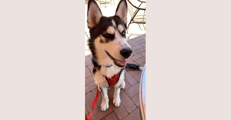 Photo of Mercury, a Siberian Husky, Alaskan Malamute, and German Shepherd Dog mix in Tucson, Arizona, USA