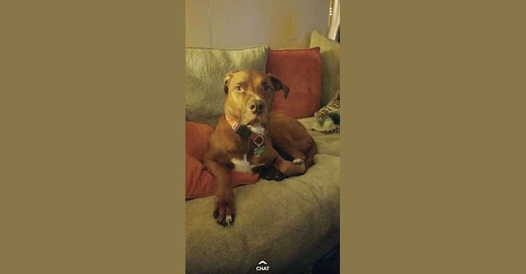 Photo of Bucky, an American Pit Bull Terrier, American Staffordshire Terrier, and Chow Chow mix in Spring Green, Wisconsin, USA