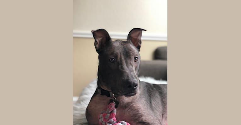 Photo of Tyson, an American Pit Bull Terrier, German Shepherd Dog, Australian Shepherd, and American Staffordshire Terrier mix in Dallas, Texas, USA