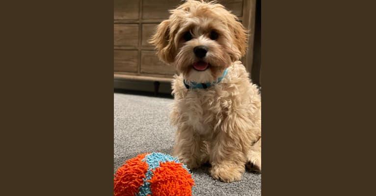 Photo of Jax, a Cavalier King Charles Spaniel, Havanese, and Bichon Frise mix in Cottageville, SC, USA