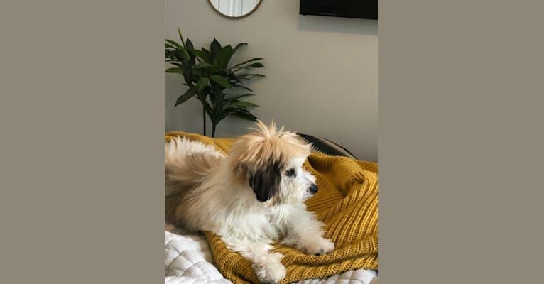 Photo of Nacho, a Bichon Frise and Biewer Terrier mix in Oak Ridge, NC, USA