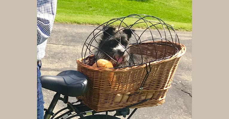 Photo of Gadget, a Boston Terrier and Havanese mix in Vermilion, Ohio, USA