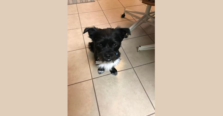 Photo of Tux, a Shih Tzu, Chihuahua, and Pekingese mix in Pueblo, Colorado, USA