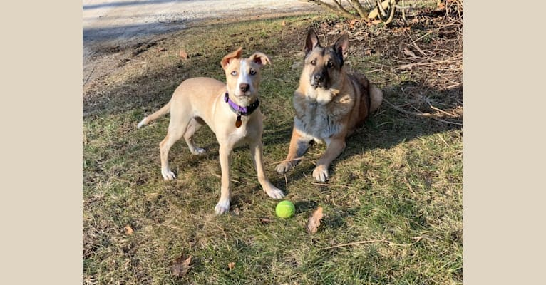 Photo of Molly Mae, an American Pit Bull Terrier, German Shepherd Dog, and Siberian Husky mix in Tennessee, USA