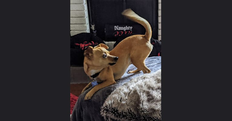 Photo of Chuck, a Chihuahua, Pomeranian, and German Shepherd Dog mix in Los Banos, California, USA
