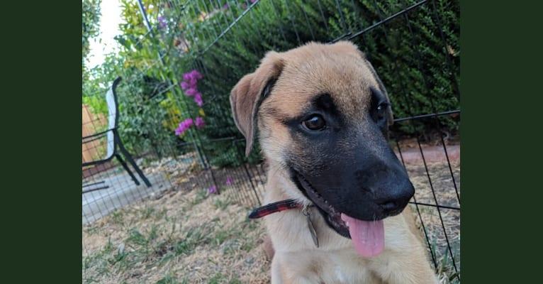 Photo of Ren, a German Shepherd Dog, Boxer, and Bulldog mix in Chowchilla, California, USA