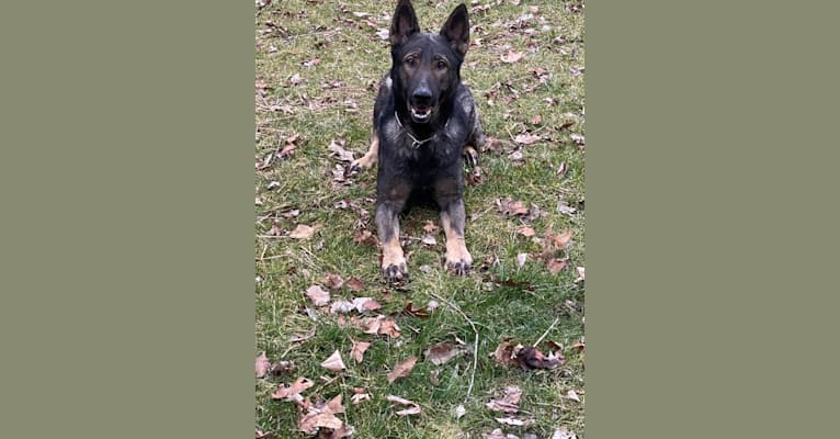 Photo of Emerick Valor Vom Duttenhof, a German Shepherd Dog  in Roanoke, Virginia, USA