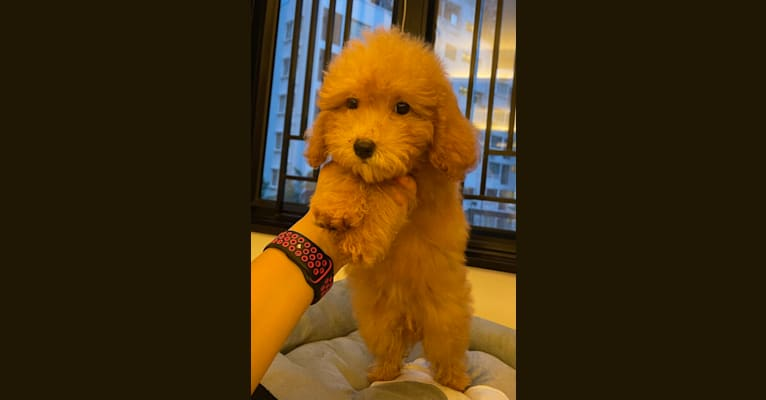 Photo of Duffy, a Poodle (Small) (8.9% unresolved) in Yuen Long, Hong Kong