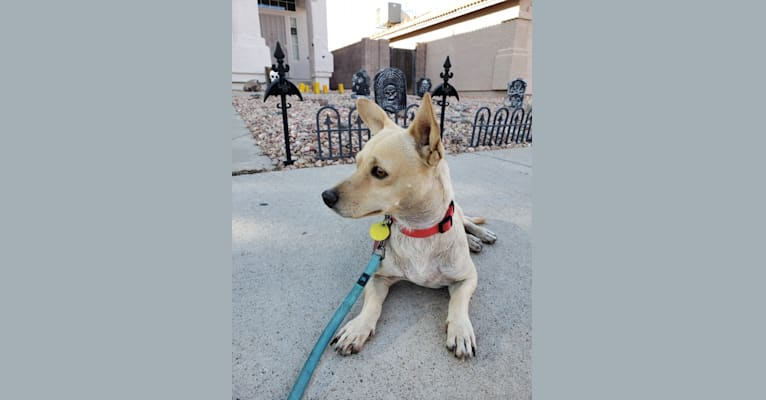 Photo of Swivel, a Chihuahua, Poodle (Small), and Mixed mix in Glendale, Arizona, USA
