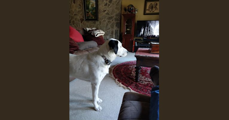 Photo of Colby, aka Elle, a Great Pyrenees, Australian Cattle Dog, and Mastiff mix in Norfolk, Virginia, USA