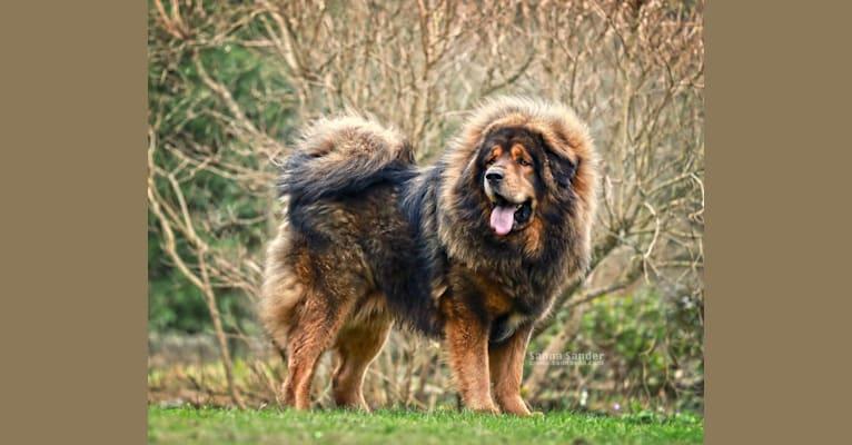 Photo of Ask, a Tibetan Mastiff  in Civitavecchia, Rom, Italien