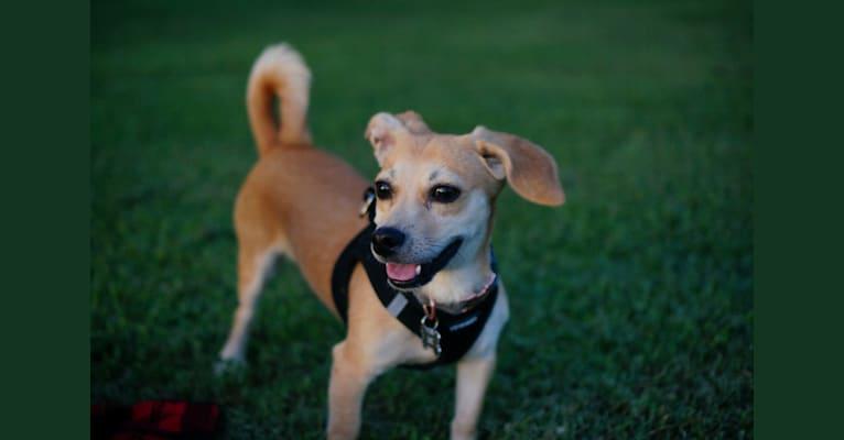 Photo of Churro, a Chihuahua, Poodle (Small), Cocker Spaniel, Pekingese, and Mixed mix in Guadalajara, Jalisco, Mexico