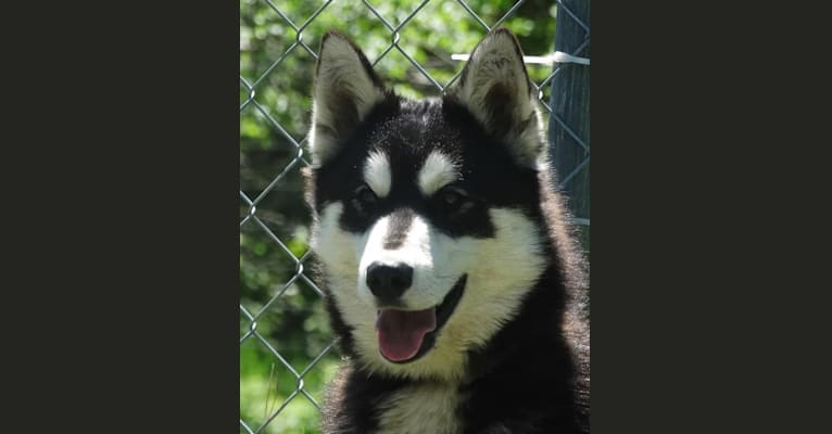 Photo of Tagalder's Montreal at Top of the HIll, a Siberian Husky  in Sarona, Wisconsin, USA