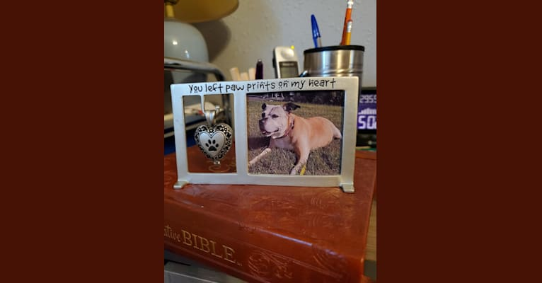 Photo of Miss Izzy, an American Pit Bull Terrier  in South Dakota, USA