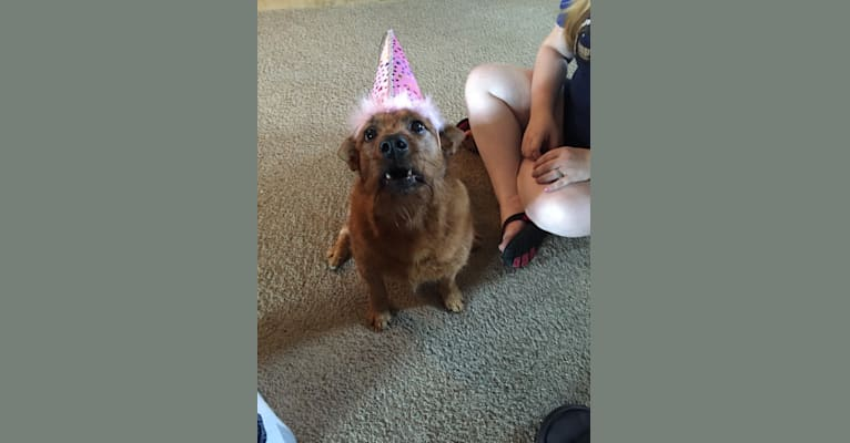 Photo of Kinzie, a Yorkshire Terrier, Chow Chow, and Australian Cattle Dog mix in Tecumseh, Oklahoma, USA