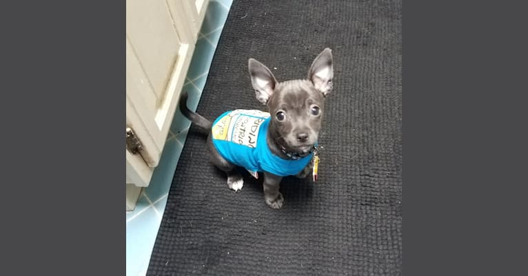 Photo of Barry, a Chihuahua, Poodle (Small), and Pomeranian mix in Stockton, California, USA