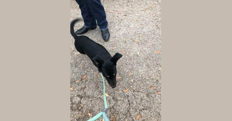 Photo of Gabby, a Chow Chow, Border Collie, Australian Cattle Dog, Labrador Retriever, and Mixed mix in animal control services
