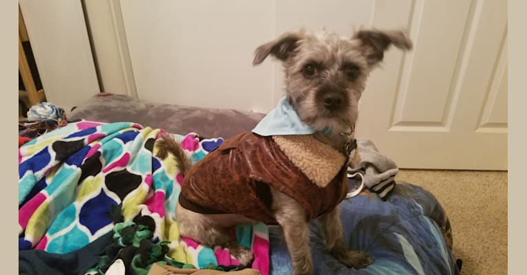 Photo of Toto, a Poodle (Small), Chihuahua, and Mixed mix