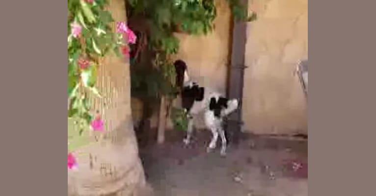 Photo of Lady Guinevere, a French Spaniel  in Yuma, AZ, USA