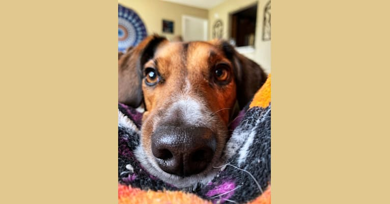 Photo of Oliver, a Beagle, Russell-type Terrier, German Shepherd Dog, and Mixed mix in Indianapolis, Indiana, USA