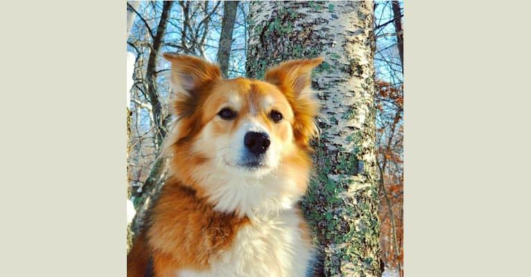 Photo of Nakia, an English Shepherd  in Princeton, MN, USA
