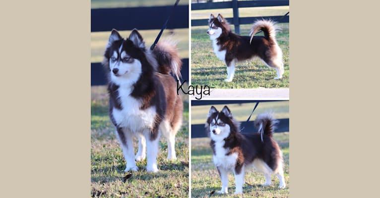Photo of Kaya-F2, a Pomsky  in Ohio, USA