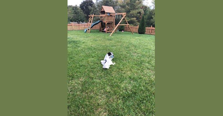 Photo of Cooper Tornado, a German Shepherd Dog, Australian Cattle Dog, American Pit Bull Terrier, Miniature/MAS-type Australian Shepherd, and Mixed mix in Mississippi, USA