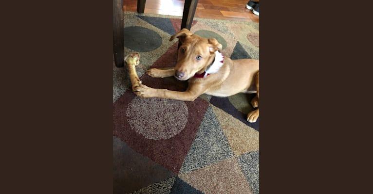 Photo of Lucy, an American Pit Bull Terrier, Australian Shepherd, Labrador Retriever, and Golden Retriever mix in Georgia, USA