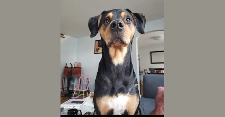 Photo of Ollie, a Treeing Walker Coonhound, Mountain Cur, American Pit Bull Terrier, and Mixed mix in Wynnewood, Pennsylvania, USA