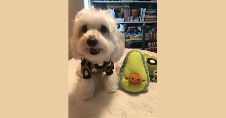 Photo of Hammy, a Maltese and Poodle (Small) mix in Halesite, New York, USA