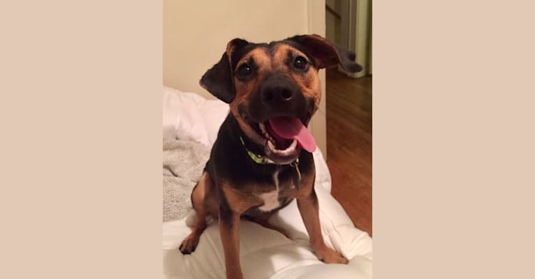 Photo of Millie, an American Pit Bull Terrier, Beagle, Australian Cattle Dog, and American Bulldog mix in Columbus, Ohio, USA