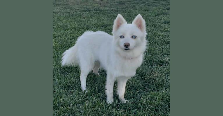 Photo of Daisy, a Pomsky  in Illinois, USA