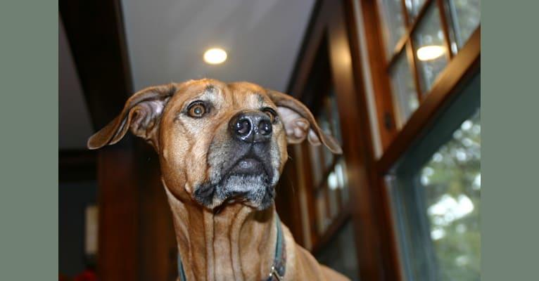 Photo of Daisy, a Rhodesian Ridgeback  in Michigan, USA