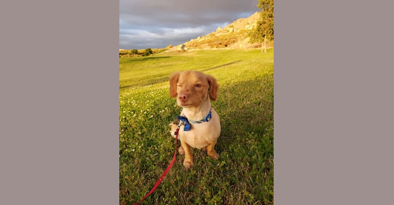 Photo of Shaggy, a Cocker Spaniel, Chihuahua, American Staffordshire Terrier, Pomeranian, Poodle (Small), and Mixed mix in Moreno Valley, California, USA