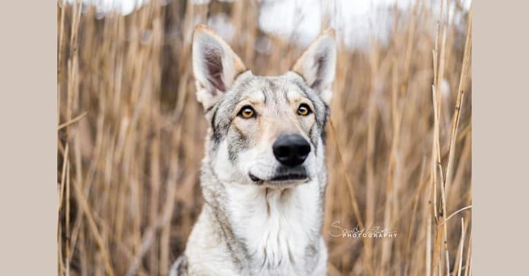 Photo of Zuri, a Saarloos Wolfdog