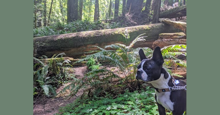 Photo of Bing, a Boston Terrier  in SF, California, USA