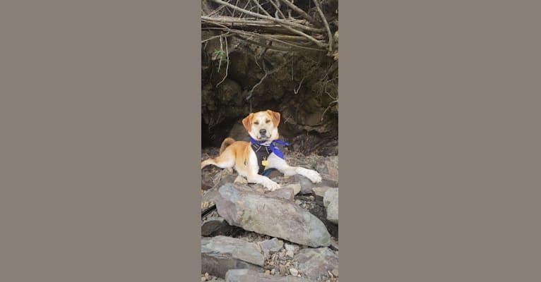 Photo of Link, a Siberian Husky, Golden Retriever, and Labrador Retriever mix in Ashland, Kentucky, USA