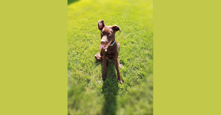 Photo of Dexter, a Labrador Retriever, American Pit Bull Terrier, and Boxer mix in Tennessee, USA