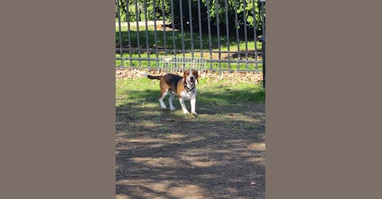 Photo of Bingo, a Beagle  in Goodman, Missouri, USA
