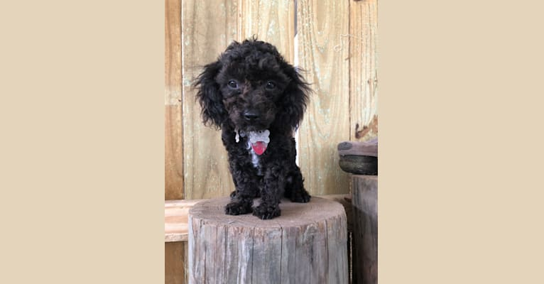 Photo of Zeke, a Poodle (Small)  in 8177 Gum Street, Houma, LA, USA